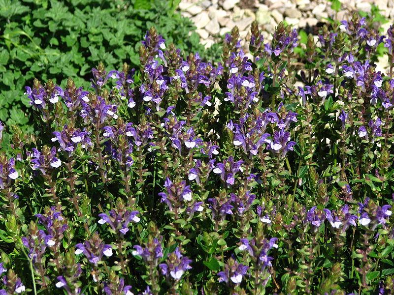 Naděje proti alergiím i rakovině – šišák bajkalský