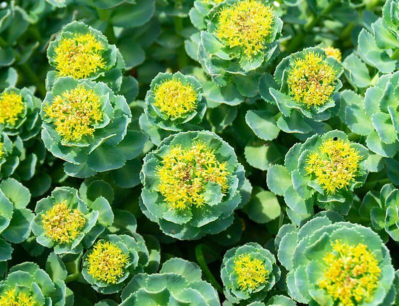 epivyziva-byliny-a-ziviny-rozchodnice-ruzova-rhodiola-rosea-18102021