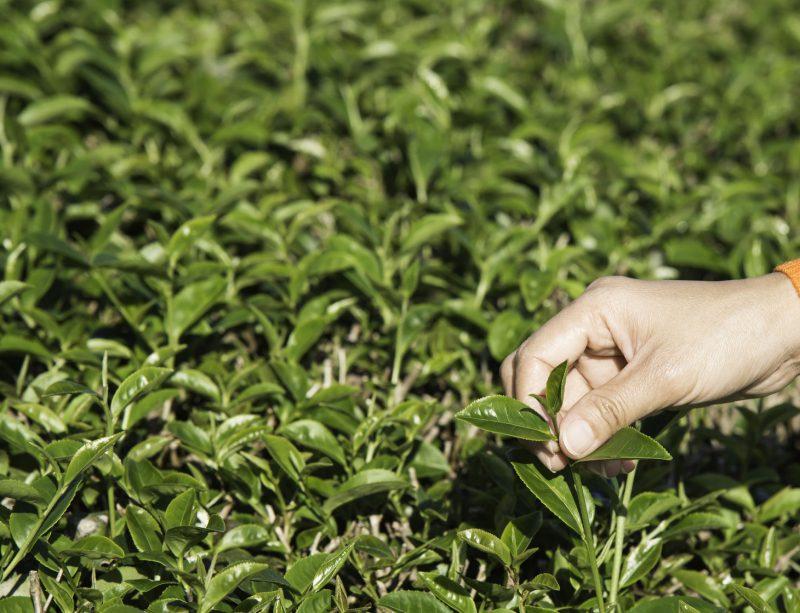 50550252 - woman shoots green tea extract.